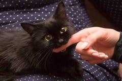 czarny kot bawić się z kobiety ręką i gryzienie dotykamy Fotografia Royalty Free