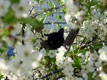 Czarny kot i czereśniowy okwitnięcie fotografia stock