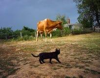 Czarny kot i czerwieni krowa wieśniacy zdjęcia stock