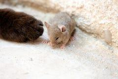 Czarny kot i mysz w myśliwym - zdobycza powiązanie Obrazy Stock