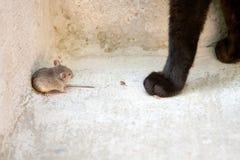 Czarny kot i mysz w myśliwym - zdobycza powiązanie Zdjęcia Royalty Free