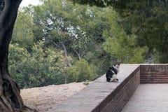 Czarny kot Malaga który żyje w fortecy Gibralfaro, fotografują przeciw tłu iglaści drzewa zdjęcie stock