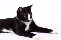 Czarny kot na białym tle Zdjęcie Stock
