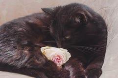 Czarny kot na br?zu krze?le odpoczywa w dobrym nastroju obrazy royalty free