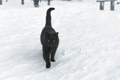 Czarny kot na śniegu Kota odprowadzenie na śniegu Obrazy Royalty Free