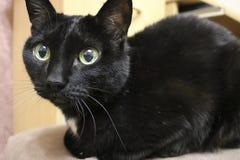 Czarny kot na podłogi - Puszystym i chytrym zwierzęciu domowym z wielkim round ono przygląda się obraz stock