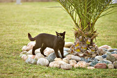 Czarny kot na polowaniu Fotografia Stock