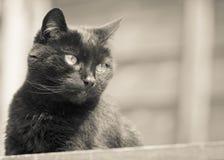 Czarny kot ono Wpatruje się w Sepiowym Zdjęcie Royalty Free