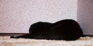 Czarny kot śpi na dywanie Obrazy Royalty Free
