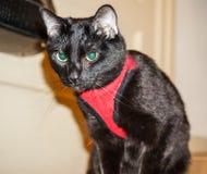 Czarny kot w Czerwonej kamizelce obrazy royalty free