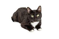 Czarny kot Z Białej klatki piersiowej Łgarskim puszkiem Obraz Stock