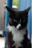 Czarny kot z białym pierś portretem Zdjęcia Royalty Free