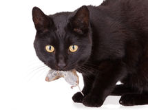 Czarny kot z jego zdobyczem, nieżywa mysz Obraz Royalty Free