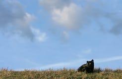 czarny kota łąka Obrazy Stock