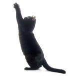 czarny kota bawić się Obraz Stock