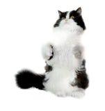 czarny kota biel Obraz Stock