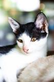 (1) 2 czarny kota koloru halftone kiciuni wersi biel Obrazy Stock