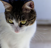 (1) 2 czarny kota koloru halftone kiciuni wersi biel Zdjęcie Stock