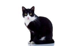 czarny kota męski biel obraz royalty free