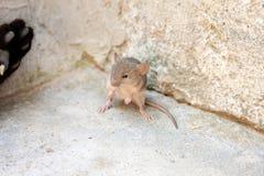 czarny kota mysz Obraz Stock