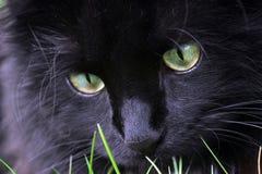 czarny kota polowanie Obraz Stock