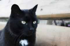 czarny kota siatki kagana wektor fotografia royalty free