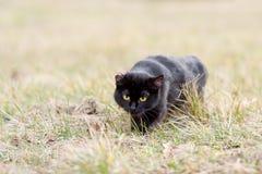 czarny kota trawy target1862_0_ Obrazy Royalty Free