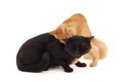 czarny kota walki kocą się starego Zdjęcia Royalty Free