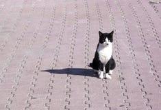 czarny kota zdziczałego formata surowy biel Fotografia Royalty Free