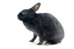 czarny królik. Zdjęcie Stock