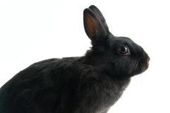 czarny królik. Obraz Stock