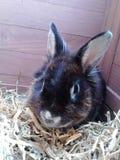 czarny królik Fotografia Stock
