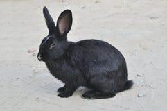 czarny królik Obrazy Stock