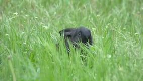 Czarny królik chuje i obwąchuje w trawie na łące zbiory