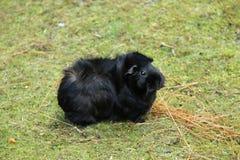 czarny królik doświadczalny Fotografia Royalty Free