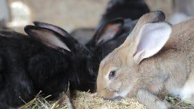 Czarny królik, duży królika królik zbiory wideo