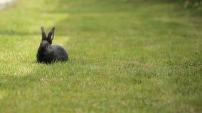 Czarny królik na zielonej trawie zbiory wideo