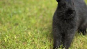 Czarny królik na zielonej trawie zdjęcie wideo