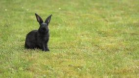 Czarny królik na zielonej trawie zbiory