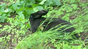 Czarny królik szuka jedzenie w ogródzie zdjęcie wideo