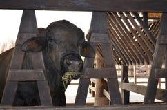 Czarny krowy un gospodarstwo rolne Zdjęcia Stock