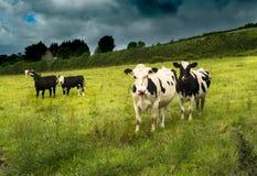 czarny krowy uprawiają ziemię waltshire uk biel Fotografia Royalty Free