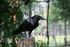 czarny kruk Zdjęcia Stock
