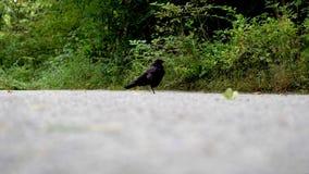 Czarny kruk chodzi na otoczakach i jest przyglądający dla jedzenia zbiory