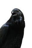Czarny kruk odizolowywający na białym tle Obrazy Royalty Free