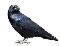 czarny kruk Ptak odizolowywający na bielu Zdjęcia Royalty Free