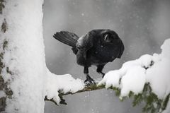 Czarny kruka obsiadanie na śnieżnym drzewie podczas zimy zdjęcia royalty free