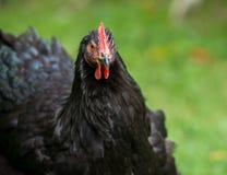 Czarny kurczak na gospodarstwie rolnym Obraz Royalty Free