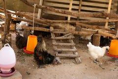Czarny kurczaka Gallus gallusdomesticus Zdjęcie Royalty Free
