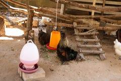 Czarny kurczaka Gallus gallusdomesticus Obraz Stock